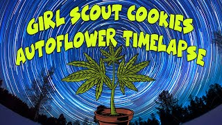 Girl Scout Cookies - Timelapse Autoflower - Seed To Harvest