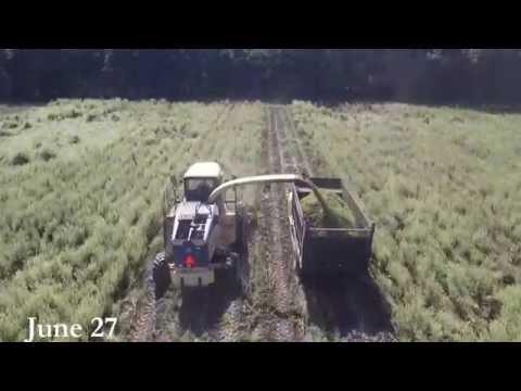 Avoca Inc., Clary Sage Harvest