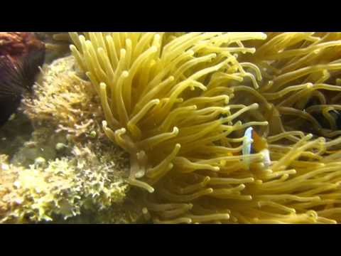 Orange clownfish in Philippines