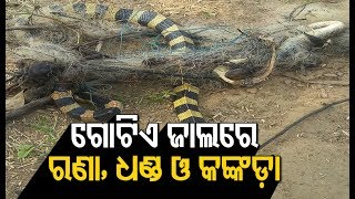 Snake Trapped In Net Rescued In Bhubaneswar Odisha