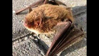 preview picture of video 'Glattnasen Federmaus Vespertilionidae Hannover Langenhagen Niedersachsen bat pipistrello'