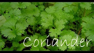 Grow Coriander with these useful tips and tricks to yield more and healthy leaves..