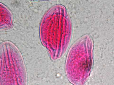 Der Samen des Kürbisses von den Würmern den Kindern