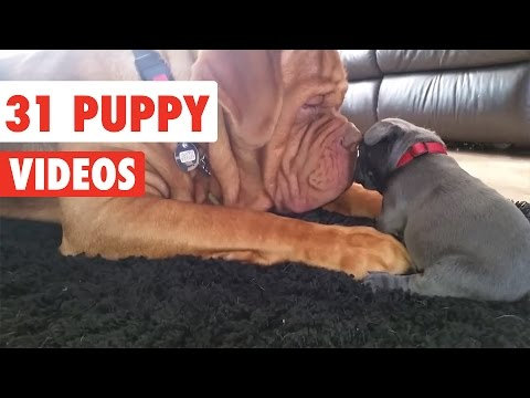 31 Funny Puppies   Funny Dog Video Compilation 2017