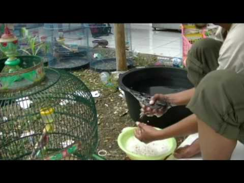 Video Cara Memandikan Burung Anggungan Derkuku dan Puter Pelung