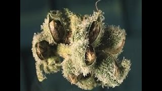 How to Make Viable Cannabis Seeds