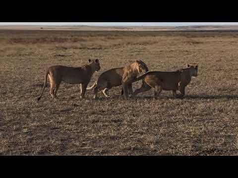 Young lions playing at the well known Musiara Marsh, Maasai Mara