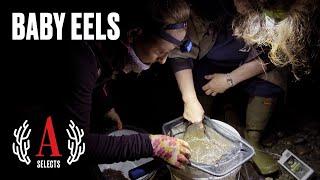 America's Hottest Black Market: Inside the Eel Gold Rush