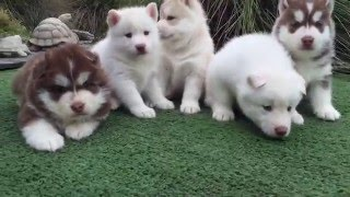 Watch this video if you love husky puppies!