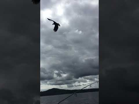Crazy: Bald Eagle steals trout from fishing rod