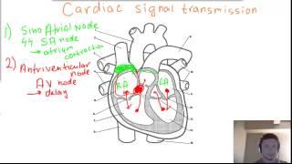 Cardiac (heart) Signal Transmission - SA node, AV node, Bundles of His and Purkinje fibers