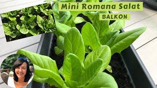 Romana Salat auf dem Balkon anbauen - Romana Salat im Balkonkasten | Little Gem