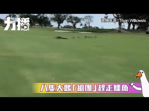 有片!八隻大鵝「組團」趕走鱷魚