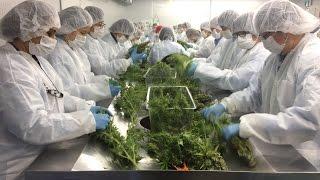 Markham medical marijuana company bracing for legalization boom