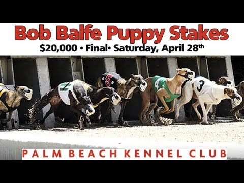 Palm Beach 2018 Bob Balfe Puppy Stakes
