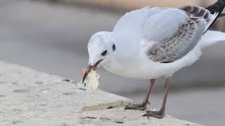 Чайки-попрошайки отбирают последний кусок хлеба у ростовчан