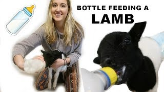 HOW TO BOTTLE FEED A LAMB (THE CORRECT WAY)