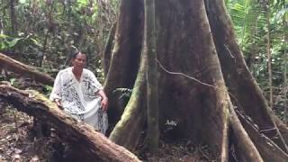 Noya Rao Icaro, Shipibo Icaro  Rare Footage Of Noya Rao Tree.