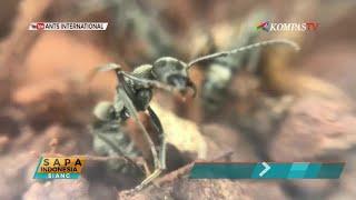 Pelihara Semut Jadi Hobi di Singapura