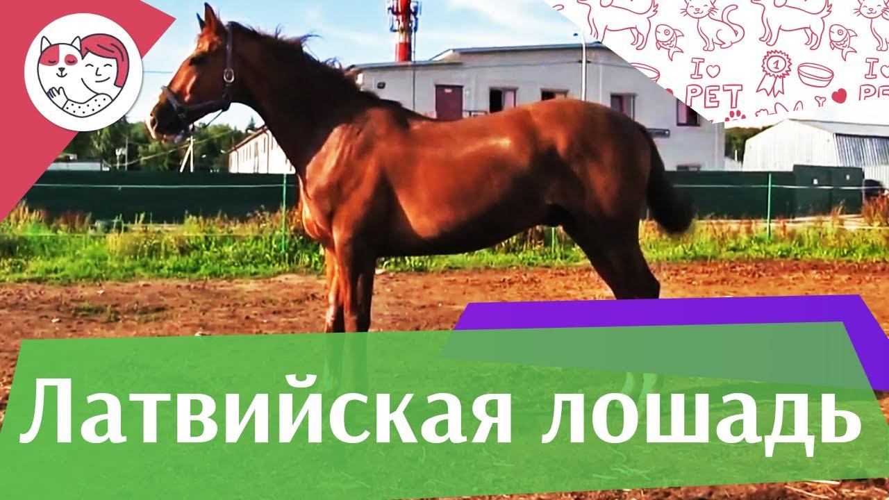 Латвийская лошадь на ilikepet