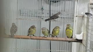 Mixtos De Green Singer(Canario De Mozambique) Por Canaria Verde Y Grey Singer (Cantor Africano)
