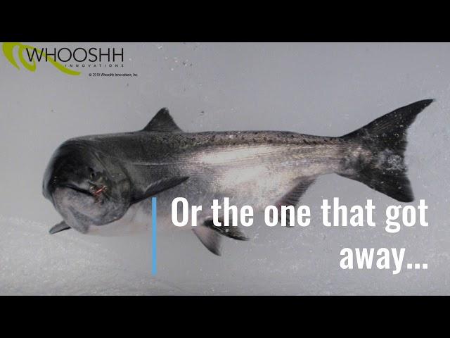 Практичная «Лососевая пушка» перебрасывает рыбу через затворы дамб