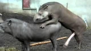 Animais transante