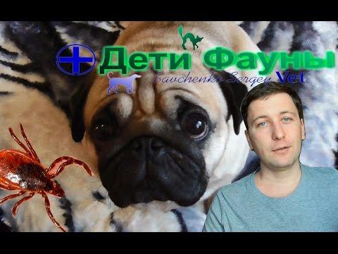 Пироплазмоз. Пироплазмоз у собак, моя схема лечения. Автор ветеринар