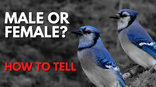 Is it Possible To Tell Male And Female Blue Jays Apart?