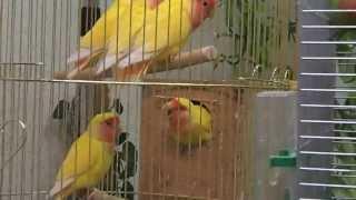 Голосистые попугаи