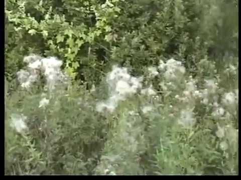 Полезные растения нашего леса.Тимьян - чабрец - чобор Хмель