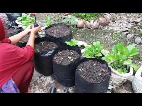 Video Pemindahan Bunga Kol dari Persemaian Umur 2 Minggu
