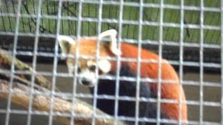 Red Panda at the Amsterdam Zoo
