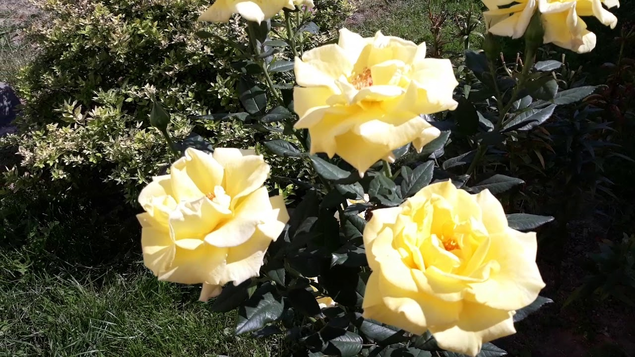Роза чайно-гибридная Беролина