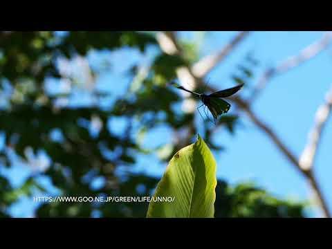 ビクトリアトリバネアゲハのテリトリー飛翔  Ornithoptera victoriae