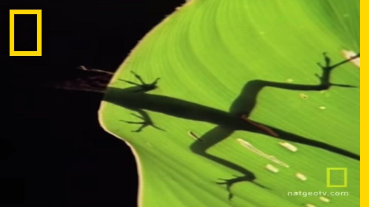 Anolis Lizard Love | National Geographic thumbnail