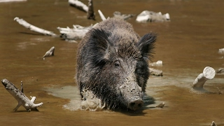 Texas politician has a new way to curb wild hogs
