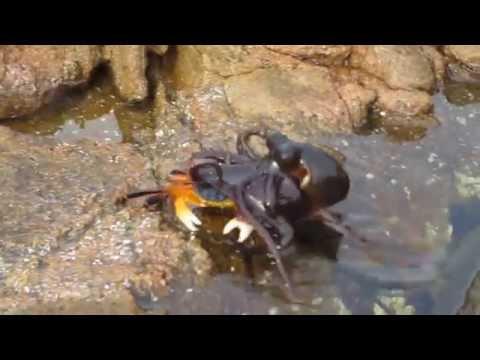 Polvo salta da água e ataca um caranguejo