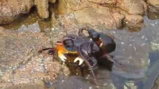 Смотреть онлайн Нападение осьминога на краба
