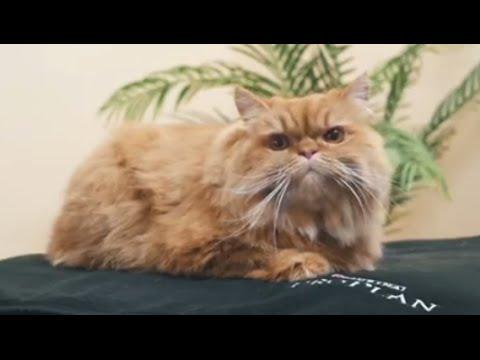 Уход за кошкой/котом после стерилизации/кастрации