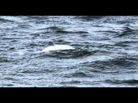 Weißer Schweinswal in der Ostsee (WDC Meldung), Fehmarn Allgemein,Schleswig-Holstein,Deutschland,Schleswig Holstein