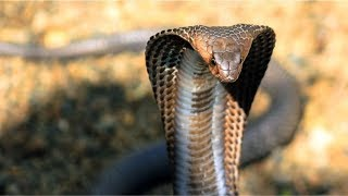 Bangunkan Sahur, Suami Kaget saat Sentuh Tubuh Istri yang Dingin & tak Bergerak, King Kobra Muncul
