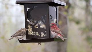 Purple Finch | Male and Female Finches at the Feeder