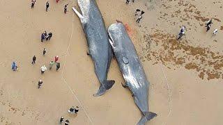 29  кашалотов выбросило на берег Северного моря...Что нашли в желудках...