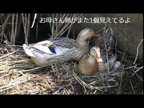 , title : '鴨の産卵・抱卵