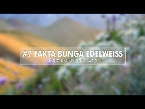 Video 7 Fakta Bunga Edelweiss