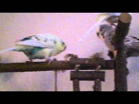 Meine Wellis und Agaporniden auf dem Vogelspielplatz
