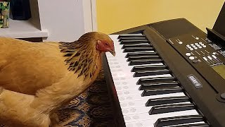 Two Creative Chicks - Chickens That Play The Piano