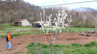 Plum Trees Flowering - Permaculture Food Forest With The Boys