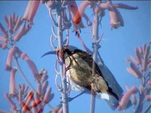 Sunbirds (Nettarinie) -